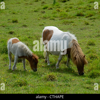 Shetland pony mare and foal grazing. Queen's Road, Kendal, Cumbria, England, United Kingdom, Europe. - Stock Photo
