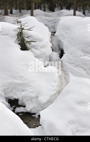 Track by Eurasian / European beaver (Castor fiber) showing slide in the snow in winter leading to pond in forest, - Stock Photo