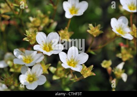 Mossy saxifrage (Saxifraga hypnoides) in flower, Europe - Stock Photo