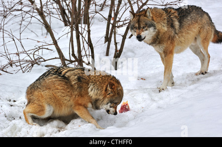 Scared subordinate wolf showing submissive posture towards dominant wolf by crouching, ears flat and tail tucked - Stock Photo