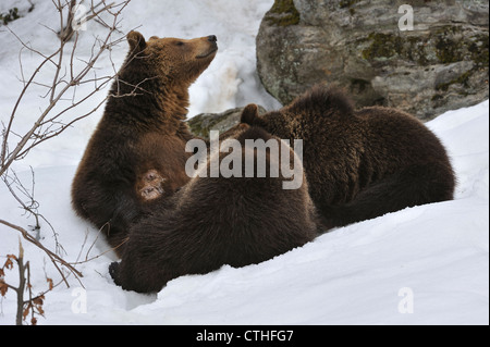 Eurasian brown bear (Ursus arctos arctos) female suckling her two two-year-old cubs in the snow in winter, Bavarian - Stock Photo