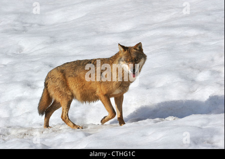 Portrait of European / Grey wolf (Canis lupus) in the snow in winter, Bavarian Forest National Park, Germany - Stock Photo