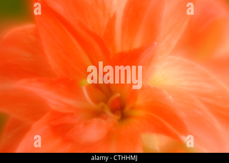 Amaryllis flower- multiple exposure soft focus effect, Greater Sudbury, Ontario, Canada - Stock Photo