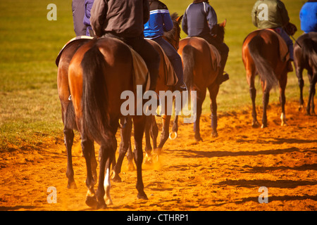A string of racehorses walking back to the start line during training at the National Stud in Newmarket - Stock Photo