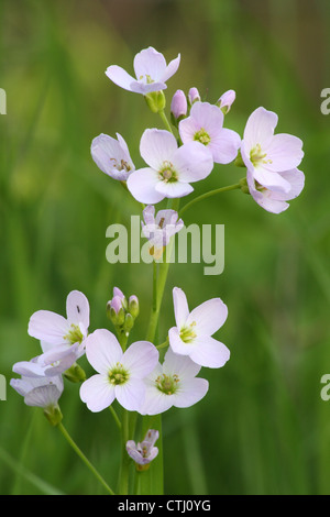 Wild,flowering Lady's Smock also called Cuckoo flower (Cardamine pratensis) in traditional wildflower meadow, Derbyshire,UK - Stock Photo