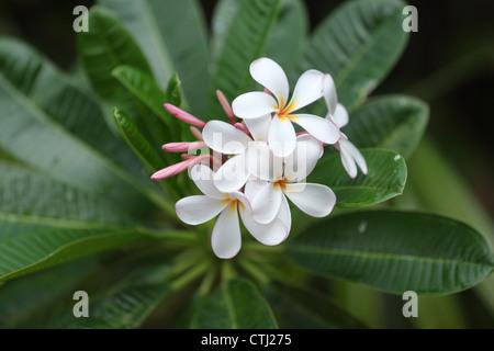 White Plumeria flowers, Hawaii - Stock Photo