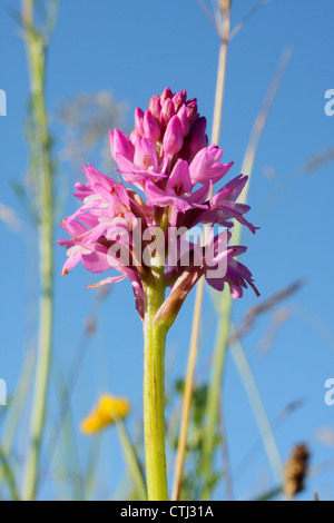 Flowering spike of a wild pyramidal orchid (Anacamptis pyramidalis), growing on grassland in Derbyshire, UK - summer - Stock Photo
