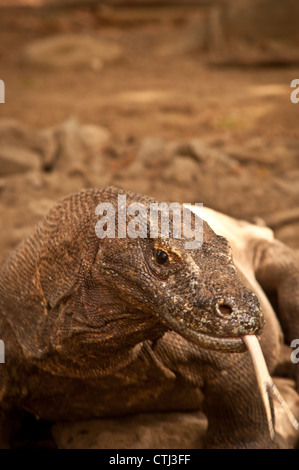 A Komodo Dragon portrait taken near the Ranger Station on Komodo Island  National Park of Indonesia, World Heritage - Stock Photo
