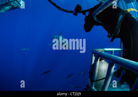 Underwater Photographer taking a photograph of a great white shark. Guadalupe Island, Mexico - Stock Photo