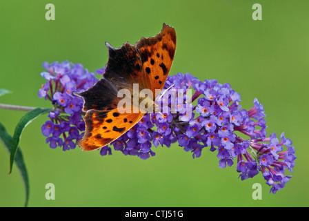Question Mark butterfly (Polygonia interrogationis) on purple butterfly bush flowers - Stock Photo