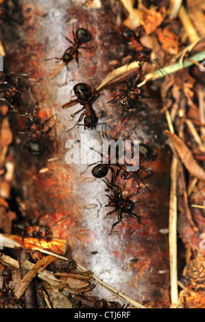 A nest of wood ants UK - Stock Photo