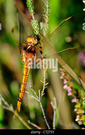 A keeled skimmer dragonfly at rest UK - Stock Photo