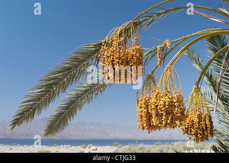 Date Clusters Hanging From Date Tree With Desert Lake And Mountain Range In The Distance And Blue Sky; Palm Springs, - Stock Photo