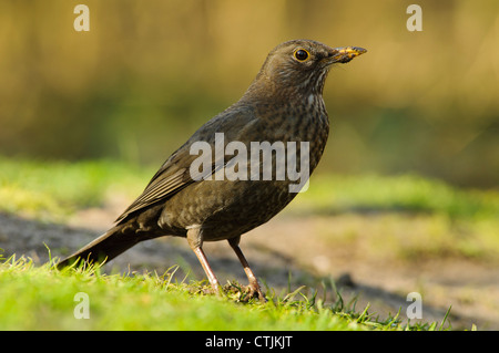 A foraging female blackbird (Turdus merula) with mud on her beak, at RSPB Minsmere, Suffolk. February. - Stock Photo