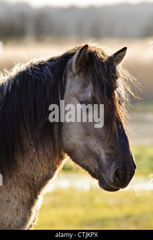 A head and shoulders shot of a Konik horse (Equus caballus gemelli) at RSPB Minsmere, Suffolk. February. - Stock Photo