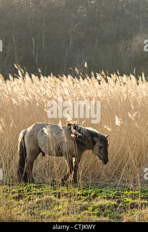 A Konik horse (Equus caballus gemelli) grazing the reedbeds at RSPB Minsmere, Suffolk. February. - Stock Photo