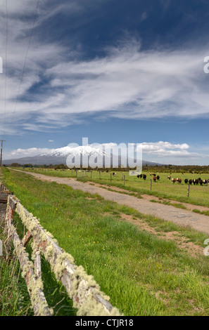 Cattle Grazing In A Field Along A Dirt Road With A View Of Mount Ruaphehu; Taupo, New Zealand - Stock Photo
