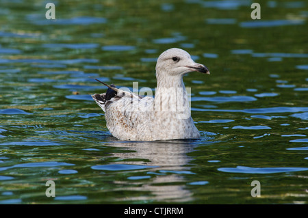A juvenile herring gull (Larus argentatus) swimming on the boating lake in Regent's Park, London. April. - Stock Photo