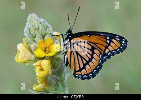 Viceroy Butterfly Limenitis archippus gathering nectar pollinating Common Mullein Verbascum thapsus Eastern USA - Stock Photo