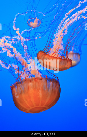 Sea Nettles (Chrysaora Fuscescens) In Monterey Bay Aquarium Display; Monterey, California, United States of America - Stock Photo