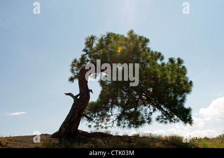 Windswept Tree - Stock Photo