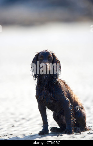portrait of a cocker spaniel sitting on a beach - Stock Photo