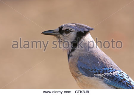 Blue Jay close up Profile - Stock Photo