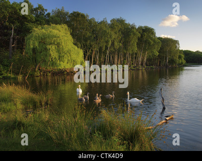 Swan family, Serene Lake at evening, Pen Ponds, Richmond Park, Surrey, London, UK English scene England, River Bank - Stock Photo