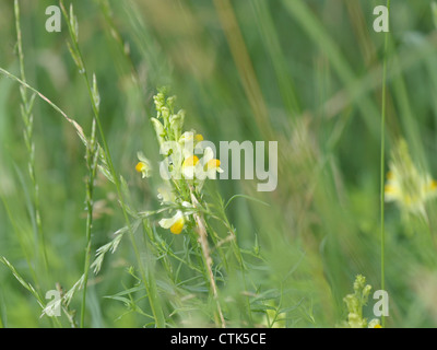 Common Toadflax, Yellow Toadflax, Butter-and-eggs / Linaria vulgaris / Echtes Leinkraut - Stock Photo