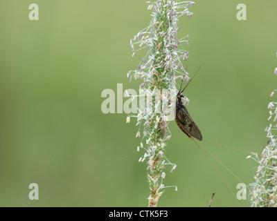 Brown mayfly / Ephemera vulgata / Gemeine Eintagsfliege - Stock Photo