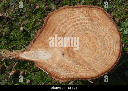 Norway Spruce (Picea abies). Piece of trunk cross-section. Showing side branch originating from trunk and how a - Stock Photo