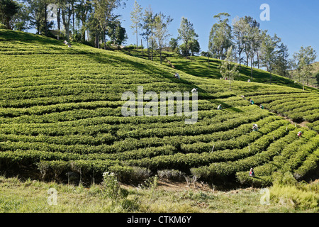 Workers on tea plantation in the Hill Country, Sri Lanka - Stock Photo