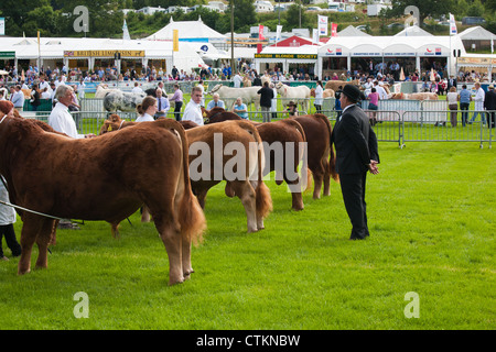 Bulls being judged ar royal welsh agricultural show - Stock Photo