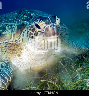 A Green turtle creates a cloud of silt as it feeds on Seagrass in shallow water in the Egyptian Red Sea - Stock Photo