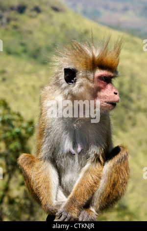 Toque macaque in the Hill Country of Sri Lanka - Stock Photo