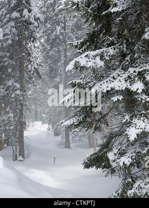 Snow drifting off snow-covered trees in dense forest near the resort of Reit im Winkel Germany - Stock Photo