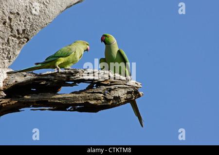 Rose-ringed (ring-necked) parakeets, Uda Walawe National Park, Sri Lanka - Stock Photo