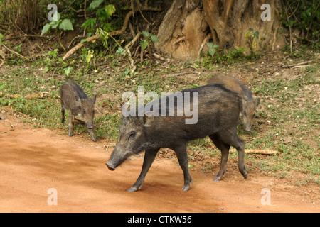 Wild boars on road, Yala National Park, Sri Lanka - Stock Photo