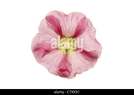 Hollyhock flower isolated against white - Stock Photo