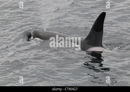Killer Whale Orcinus orca, Braewick, Eshaness, Shetland, UK - Stock Photo