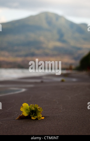 OMETEPE ISLAND, NICARAGUA: Bloom of an aquatic plant washed up on the black volcanic sands of Ometepe island. Volcano - Stock Photo