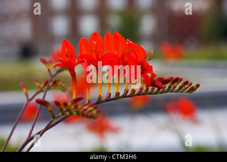 red Crocosmia Lucifer flower - Stock Photo