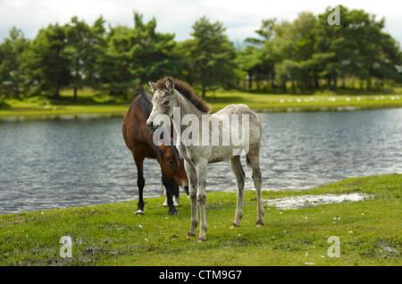 New Forest Ponies - Stock Photo