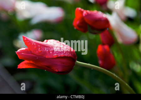 Closed tulips with water drops on them - Stock Photo