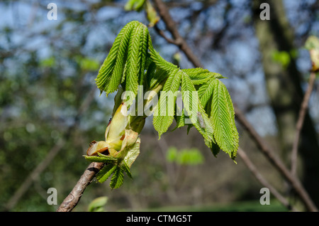 Early Spring and the sap is rising as fresh new leaves burst forth on a horse chestnut tree - Stock Photo