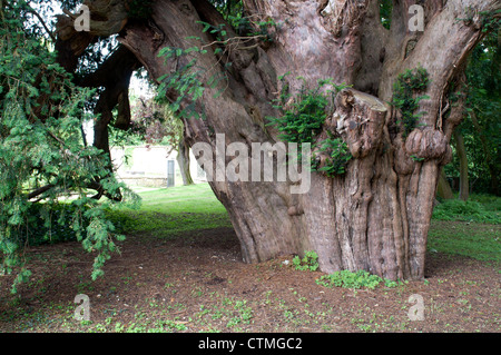 Yew tree in Marston St. Lawrence churchyard, Northamptonshire, UK - Stock Photo