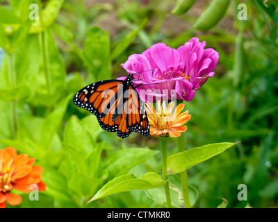 Monarch butterfly on zinnias in garden, Yarmouth Maine - Stock Photo