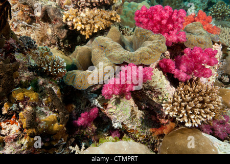 Giant Clam (Tridacna gigas) with soft and other corals on a tropical reef - Stock Photo