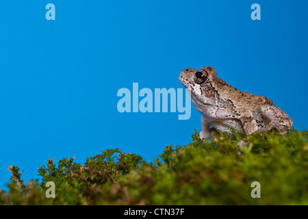 Gray Treefrog (Hyla versicolor) - Stock Photo