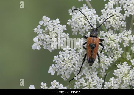 Longhorn beetle (Stictoleptura cordigera - Leptura cordigera - Corymbia cordigera) male on umbelliferous flower - Stock Photo